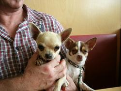 Tyson , chien Chihuahua