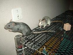 Saya Et Misty, rongeur Rat
