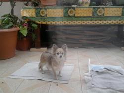 Surya, chien Chihuahua