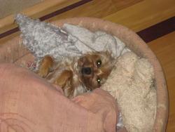 Biscotte, chien Yorkshire Terrier