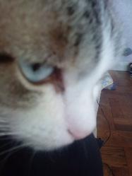 Bianca, chat Siamois