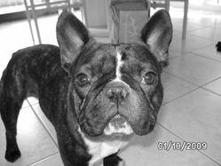 Docker, chien Bouledogue français
