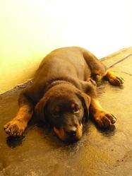 Zion, chien Rottweiler