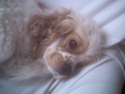 Dolly, chien Cocker américain