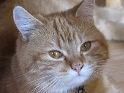 Quiquine, chat Européen
