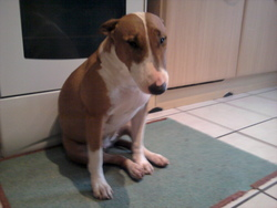 Lilly, chien Bull Terrier