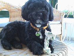 Cysko, chien Lhassa Apso