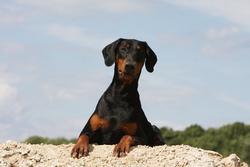 Heracléa, chien Dobermann