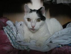Henza, chat Gouttière