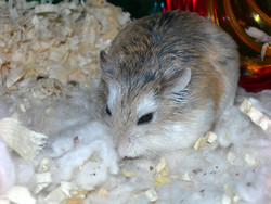 Trotteuse, rongeur Hamster