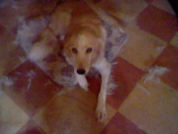Chaska, chien Golden Retriever