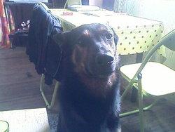 Hotis, chien Beauceron