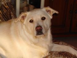 Josie, chien Labrador Retriever