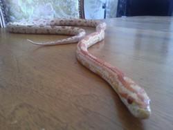 3 Serpent De Blé, autres