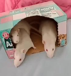 3 Soeurs Rattes, rongeur Rat