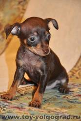 Wagner, chien Chihuahua