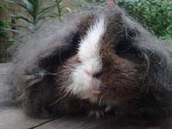 Moumoute, rongeur Cochon d'Inde