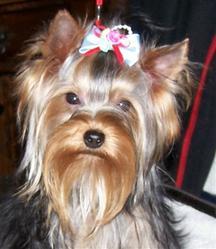 Tayson, chien Berger allemand