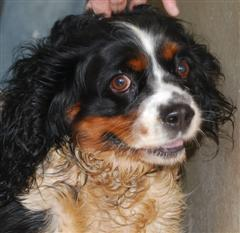 Ponette, chien Cavalier King Charles Spaniel