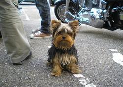 Harley, chien Yorkshire Terrier