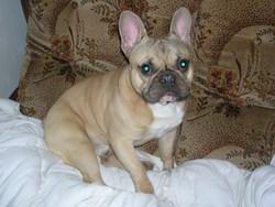 Yago, chien Bouledogue français