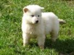 Boubou, chien Berger blanc suisse