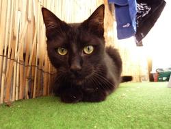Boumbai, chat Européen