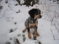 Dolie, chien Épagneul breton