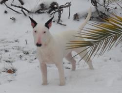 Djyna, chien Bull Terrier