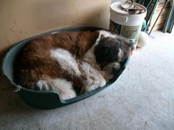 Rimbaut, chien Saint-Bernard