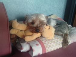 Venus, chien Yorkshire Terrier