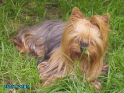 Tite Perle, chien Yorkshire Terrier