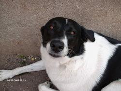 Rona, chien