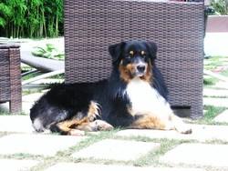 Eclair, chien Berger australien