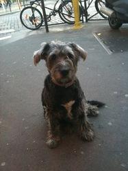Poupy De Paris, chien Griffon nivernais