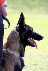 Dalia Loups Mutin, chien Berger belge