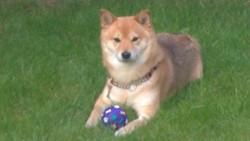 Douchka, chien Shiba Inu
