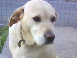 Tessa, chien Golden Retriever