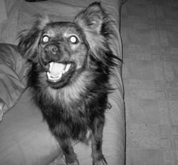Milady, chien