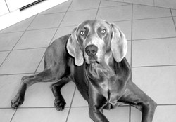 Dorah, chien Braque de Weimar
