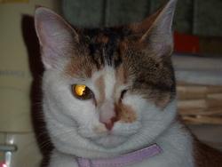 Jolicoeur, chat Européen
