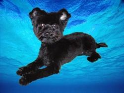 Eddy, chien Yorkshire Terrier