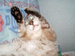 Mozart, chat Siamois