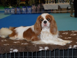 Emmy , chien Cavalier King Charles Spaniel
