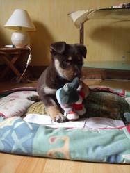 Lorka, chien