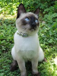 Baghera, chat Siamois