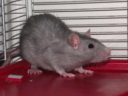 Kriek , rongeur Rat