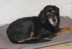 Reina, chien Beauceron
