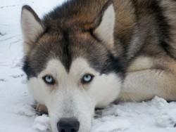 Mao, chien Husky sibérien