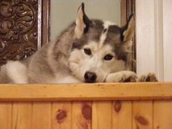 Misty, chien Husky sibérien